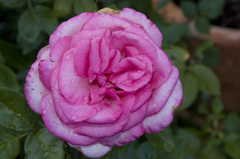 Kitschige Rose