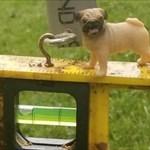 dolly bug pug