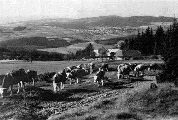 Flusárna s kravami