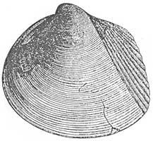 Mlz Protocardia hillana (SOWERBY)