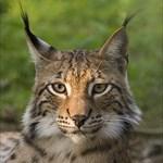 LynxBorealis