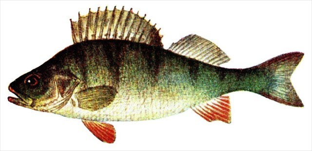 Fisch4
