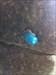 caracol azul