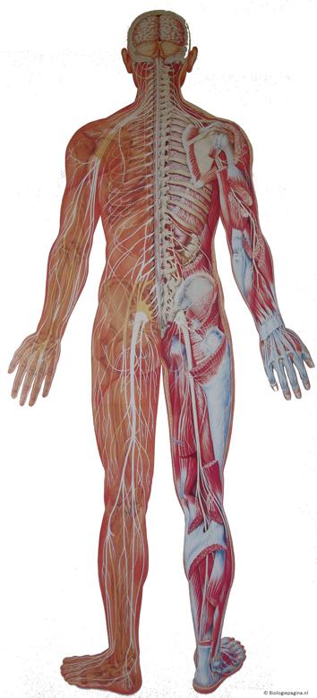 Gc2jdky Het Menselijk Lichaam Het Zenuwstelsel Unknown