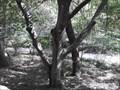 Image for Yellowwood Arkansas Champion Tree - Compton Gardens - Bentonville AR
