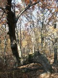 Image for Trail Tree - Jurgensen Woods; Cook Co., IL