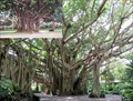 Image for Florida Banyan Tree, Cypress Gardens - Winter Haven, FL
