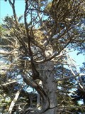Image for LARGEST - Monterey Cypress Tree - Pebble Beach, California