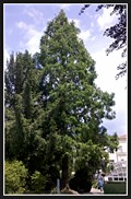 Image for Metasequoia Glyptostroboides - Brno, Czech Republic