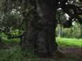 Image for New Orleans Dueling Oak