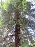Image for Californian Redwood - Nelson, New Zealand