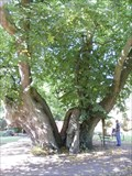 Image for Schwedenlinde - Swedish Lime Tree, Brielow, Germany