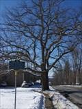 Image for The Great Jamestown Oak Tree - Jamestown, New York