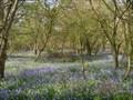 Image for Bluebells - Brampton Wood, Cambridgeshire, UK