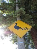 Image for Duck and ducklings crossing - Sunnyvale, CA