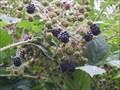 Image for Marsh Lane Blackberries - Hemingford Grey, Cambridgeshire, UK