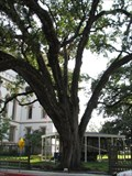 Image for Old Capitol Bicentennial Oak - Baton Rouge, Louisiana