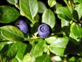Image for Blueberries in the wild, near Jablonec city, Czech Republic