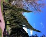 Image for Sequoiadendron giganteum 'Pendulum' - Cardiff, Wales, UK