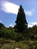 Image for Sequoiadendron Giganteum in the Botanical Garden - Basel, Switzerland