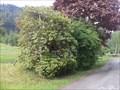 Image for ONLY --  one Schneeglöckchenbaum in Austria - Hof, Inzing, Tirol, Austria