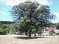 Image for Chinquapin Oak tree - Dundas, Ontario