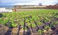 Image for Claytons Strawberry Farm - Newburgh, Lancashire UK