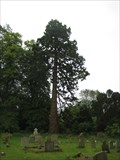 Image for A Sequoiadendron giganteum - Toft , Cambs