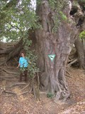 Image for lime tree, 700 years old, in Obermarbach