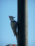 Image for Giant Woodpeckers - Toronto, ON