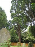 Image for Sequoiadendron giganteum -Hargrave Northant's