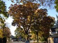 "Image for The ""Shoe Tree"" - White Oak - Belvidere, NJ"