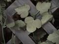 Image for Mickey Leaf - Mama Melrose's Restorante Italiano