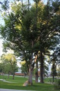 Image for American Elm -- NAU Campus, Flagstaff AZ