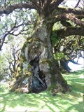 Image for The magic forest of Fanal, Madeira, Potugal