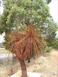 Image for Grass Tree -  Chittering Valley,  Western Australia