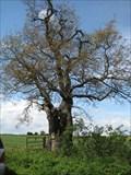 Image for Cooks Oak Tree