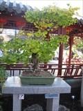 Image for Bonsai  Ginkgo de 155ans, Mtl, Qc