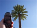 Image for San Pedro Canary Island Date Palm