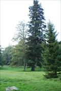 Image for Jedle v lázenském parku Karlove Studánce / Fir in the park of Karlova Studánka health resort