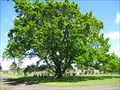 Image for Queen Victoria English Oak Tree, Matakoha, New Zealand