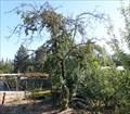 Image for Haines Apple Tree - Merlin, Oregon