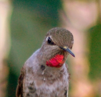 Lots and lots of hummingbirds present in the gardens