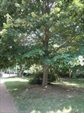 Image for Silver Linden in the grounds of the Falls Chuch Episcopal in memory of Marion Brush