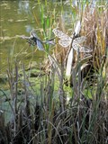 Image for Dragonflies in Composition - Loveland, CO