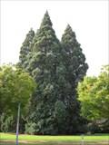Image for Tallest of 5 Star Trees of Willamette University - Salem, Oregon