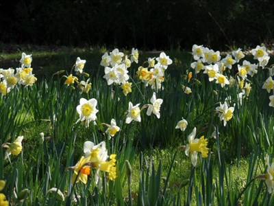 Daffodils in bloom. These are SEASONAL - generally March.