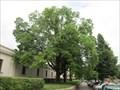Image for Oresak cerny (Juglans nigra) - Brno, Czech Republic
