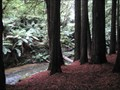 Image for Californian Redwoods - Otway Ranges Victoria