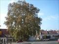 Image for Platan javorolisty  - Mikulov, Czech Republic